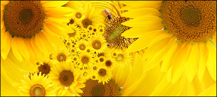 Sunflower picture background material-5