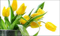 Yellow tulip picture material