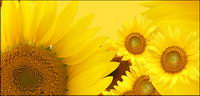 Sunflower picture background material-13