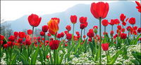 Cong tulips picture material