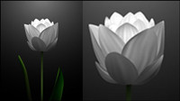 White tulips vector material -2