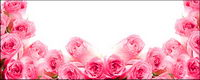 Pink roses-picture
